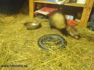 Jag letar efter matbitar runt kattodjurens matskålar.