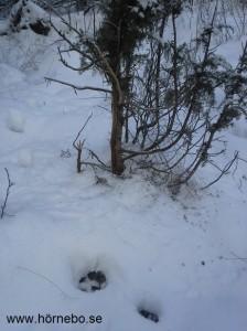 En hade nästan kunnat tro att det hade varit getter här på den lilla enen, men spåren i snön säger annorlunda.