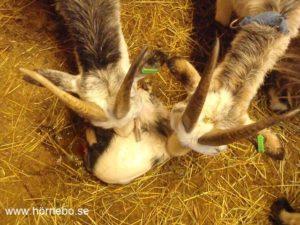 Mera tvillingar, här 5-åriga tvillingsystrarna Lina och Prostinnan som hjälps åt att slicka Linas lille Tony. Några minuter senare födde hon även en liten Eva!